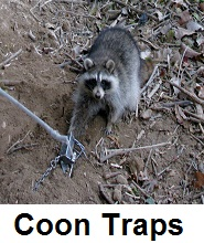 coon body traps