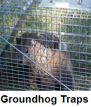 groundhog body traps